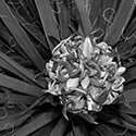 yuccablooms005bw